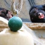 Laughing chimps.