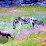 Zebras and blesbuck, grazing.