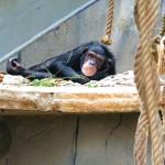 Resting chimp.