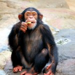 A chimp eating a chip.