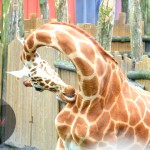 A giraffe cleaning itself.